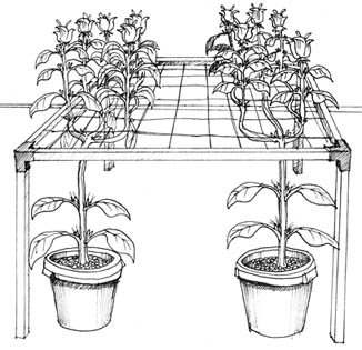 SCROG Illustration