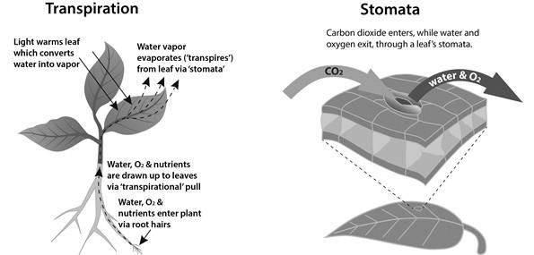 stomata-transpiration
