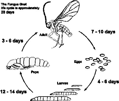Fungus-gnat-lifecyle